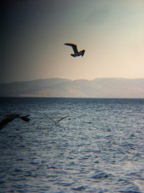 Seagulls attacking fish